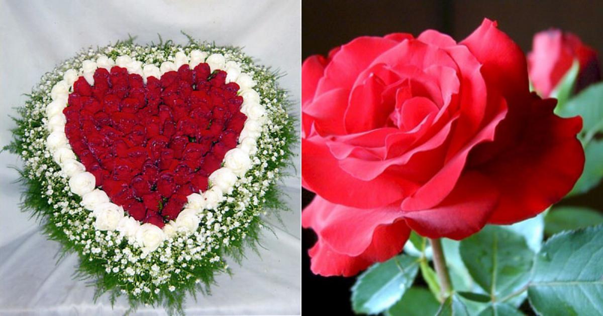 Hoa hồng - Vị thuốc thơm mát chữa nhiều bệnh
