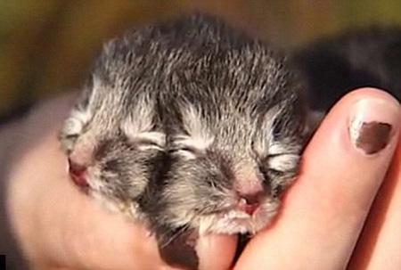 Lạ kỳ chú mèo có 2 mặt và 24 ngón chân - Hình 1