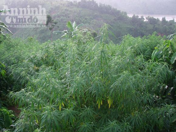 Lén trồng cả trăm cây cần sa trong rẫy cà phê - Hình 1