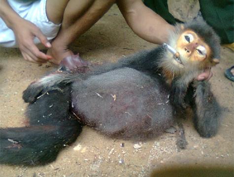 Vụ giết khỉ dã man: Lực lượng kiểm lâm Quảng Nam đã vào cuộc điều tra - Hình 1