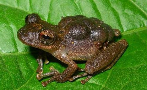Việt Nam có loài ếch kỳ lạ nhất hành tinh