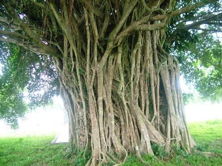 """""""Kỳ bí"""" về ngôi miếu cổ trong lòng cây si"""