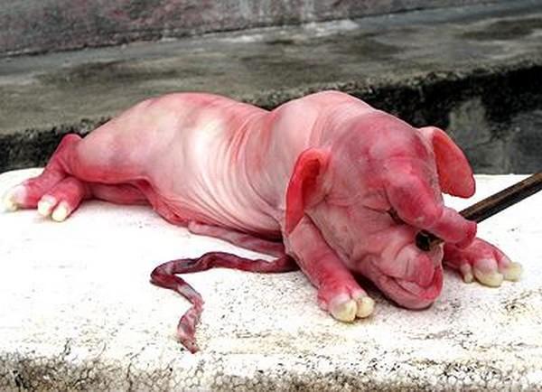 10 chú lợn quái thai xôn xao ở Việt Nam