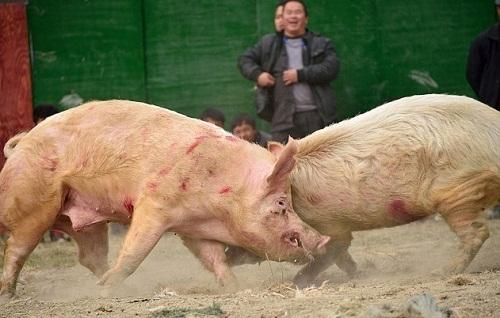 Kinh hoàng trò chọi lợn ở Trung Quốc