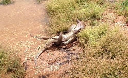 Trăn khổng lồ nuốt chửng cá sấu