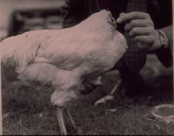 Chú gà bị chặt đầu vẫn sống được năm rưỡi