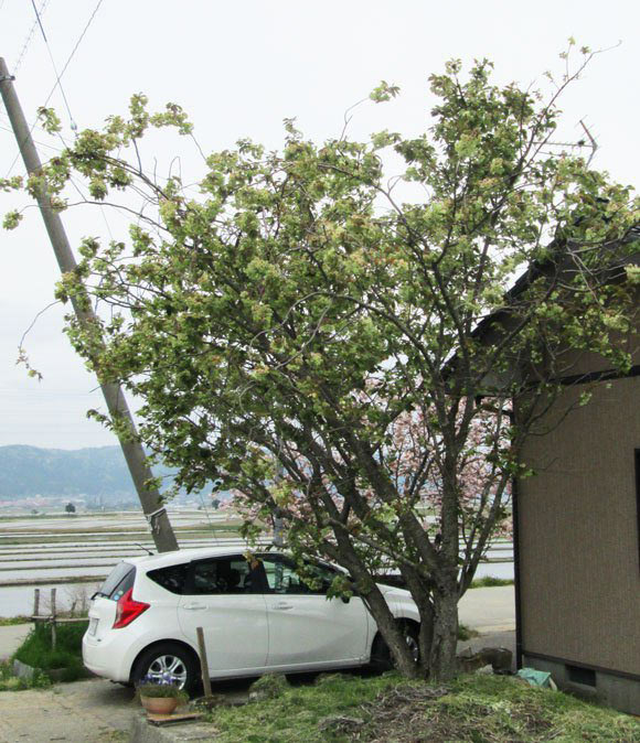 Ngắm hoa anh đào xanh hiếm có ở Nhật Bản