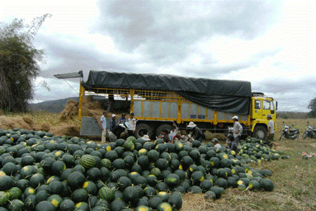 Gia Lai: Xuất hiện người Trung Quốc thuê đất trồng dưa hấu giống lạ - Hình 1