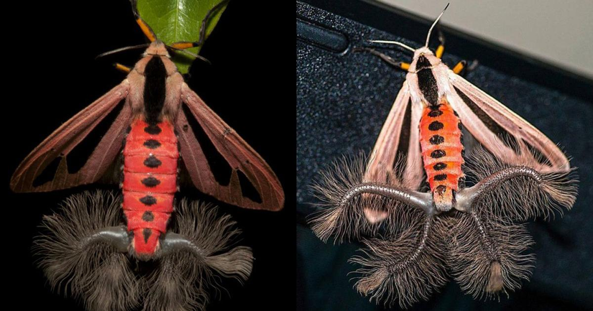 Loài bướm đêm có bộ phận sinh dục kinh dị, đâm tủa như gai thép