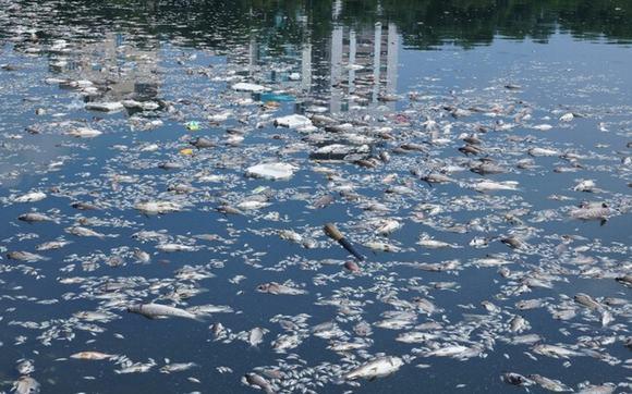 Hàng tấn cá chết nổi lềnh bềnh ở hồ Thiền Quang - Hình 2