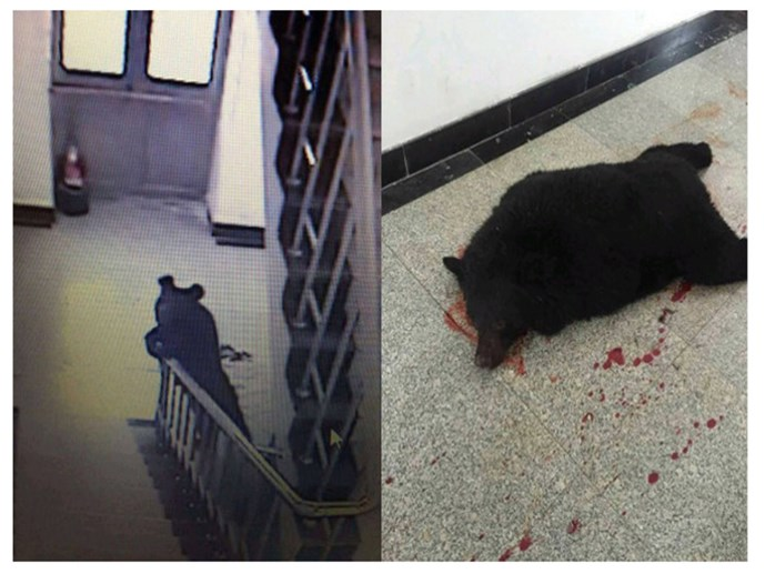 Kinh hoàng gấu đen tấn công trường học ở Trung Quốc - Hình 1