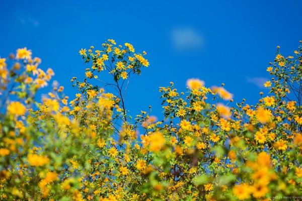 Các địa điểm chụp ảnh hoa dã quỳ đẹp nhất 3 miền - Hình 1