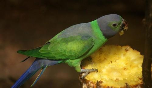Con vẹt xanh - Hình 2