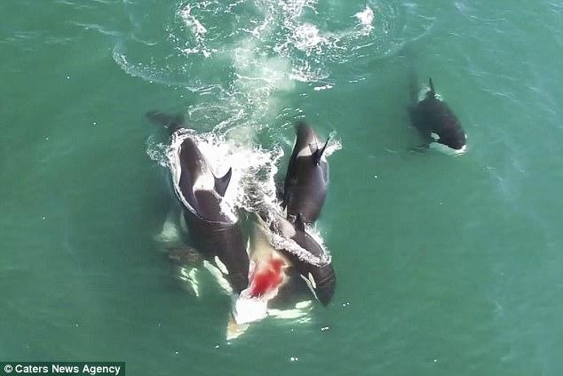 Đàn cá voi sát thủ truy sát, cắn ngập răng cá voi khổng lồ