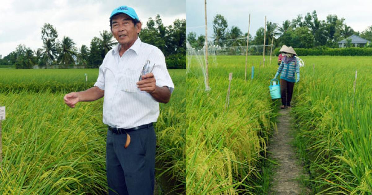 """Tiến sĩ Cua: 25 năm nghiên cứu cho một thương hiệu gạo """"ST"""""""