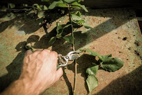 Cách trồng hoa hồng bằng củ khoai tây ai cũng làm được