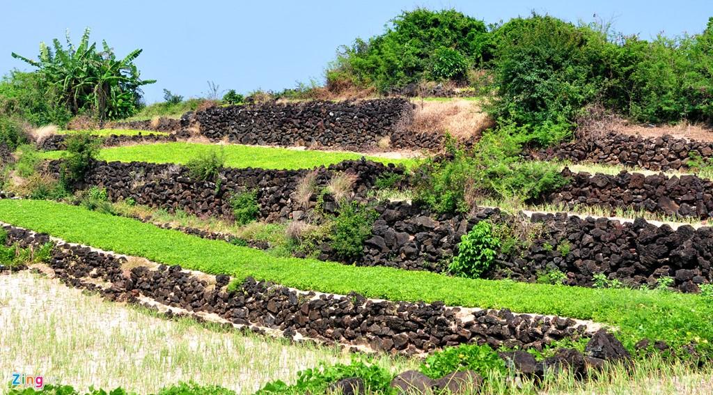 Ruộng bậc thang hấp dẫn du khách ở đảo Lý Sơn