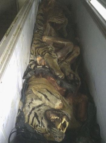 5 tạ thịt hổ suýt bị nấu cao
