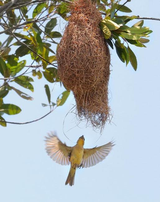 Ngỡ ngàng trước tổ chim dòng dọc tưởng chỉ có trong mơ ở miền Tây