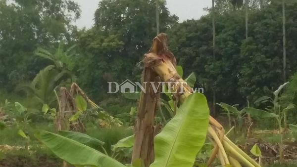 Hải Phòng: Vườn chuối bị phá nát trong đêm, thiệt hại cả tỷ đồng