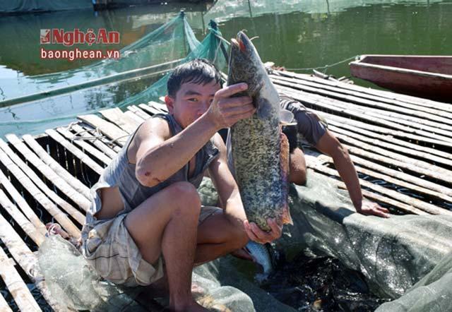 Cá leo thịt thơm ngon, dễ nuôi, dễ thu lãi lớn - Hình 4