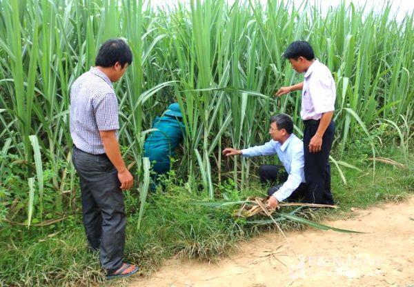 50 ha mía bị nhiễm rệp xơ bông trắng ở Nghệ An: Vì sao nên nỗi? - Hình 3