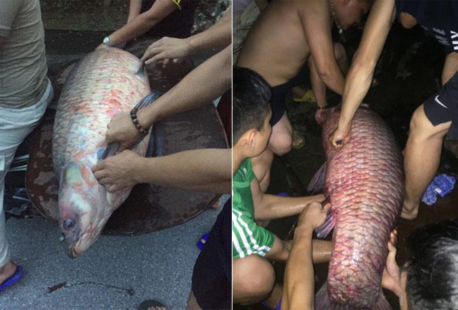 Ngư dân bắt được cá trắm khủng, nặng gần nửa tạ trên hồ Thác Bà - Hình 1