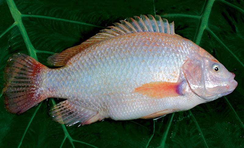 [Chế biến] - Cá hấp khế nóng hổi cho bữa cơm tối ngon đậm đà
