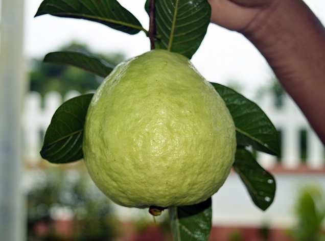 """Trung """"khùng"""" và vườn ổi quanh năm cho trái ngọt giữa vùng đất phèn"""