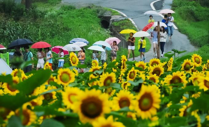 Ngôi làng hoa hướng dương đẹp rụng tim ở Hàn Quốc