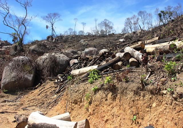 Vụ 43 ha rừng bị xóa sổ: Rất vô lý khi chặt cây to để trồng cây nhỏ
