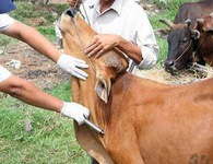 Cán bộ thú y đâm xi lanh tiêm phòng gia súc vào người trưởng thôn