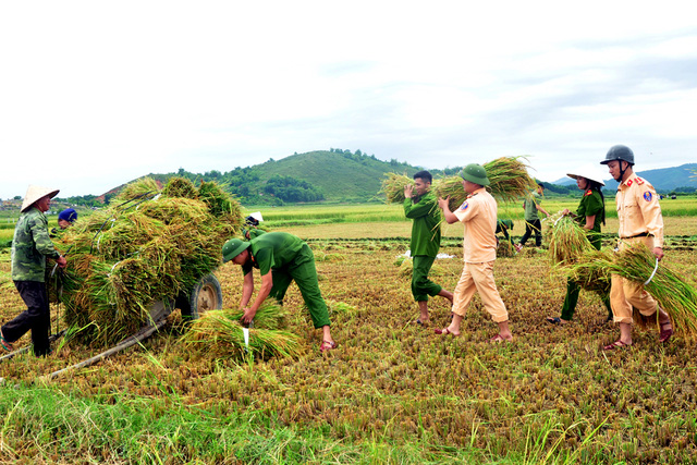 Công an giúp dân gặt lúa chạy bão - Hình 1