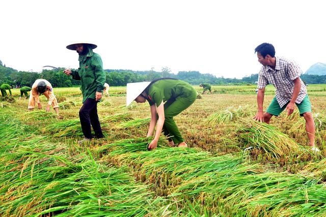 Công an giúp dân gặt lúa chạy bão - Hình 2