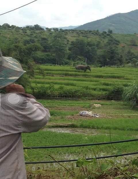 Sơn La: Voi xuống bản giẫm nát ruộng lúa của người dân