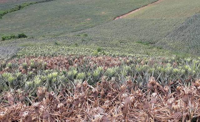 Vườn dứa của dân bị kẻ gian dùng thuốc cỏ tàn phá - Hình 1