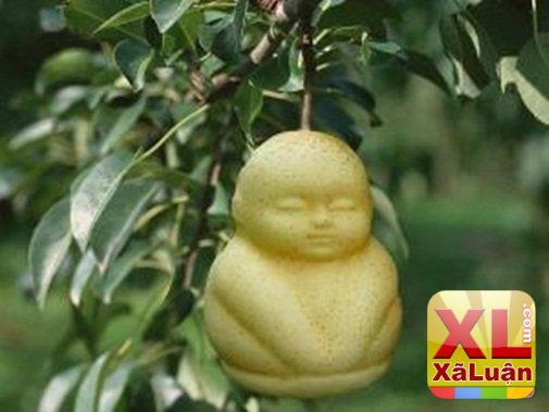 """Cây lê trong vườn ra quả hình em bé ngay trước lúc con dâu """"lâm bồn"""", hái xuống ninh..."""
