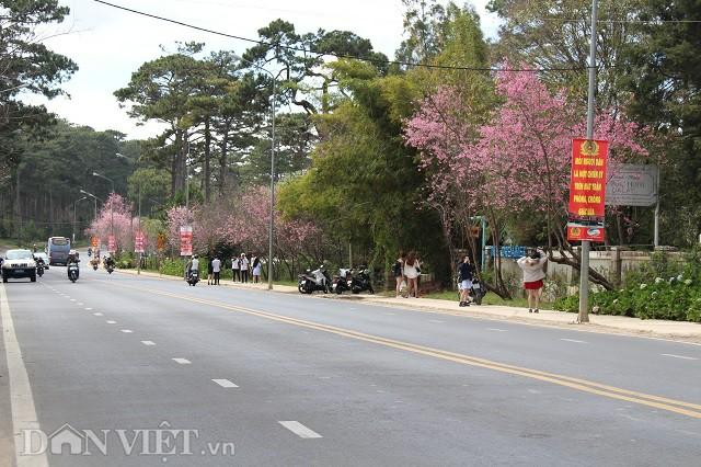 Chùm ảnh: Hoa mai anh đào Đà Lạt nở rộ, du khách mê tít