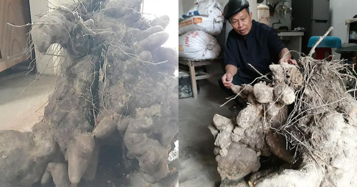 """3 người đào 1 củ khoai """"khủng"""" nặng 70 kg"""