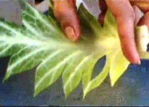 Cách tỉa lá bắp cải đẹp mà không khó - Hình 14