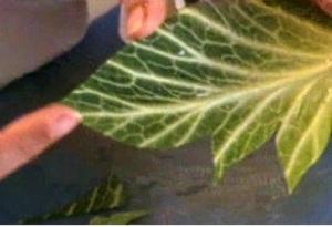 Cách tỉa lá bắp cải đẹp mà không khó - Hình 12
