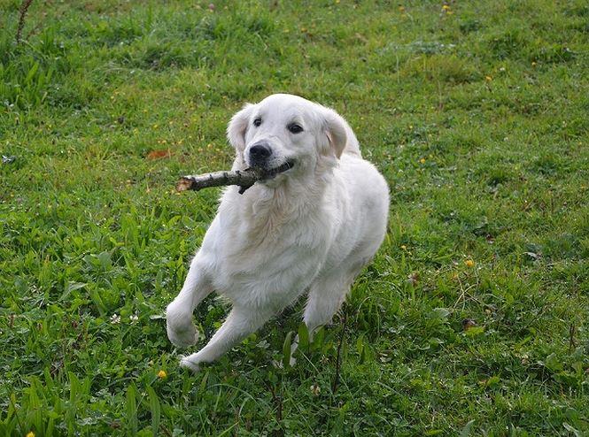 5 giống chó hung hăng quái thú nhất thế giới - Hình 1
