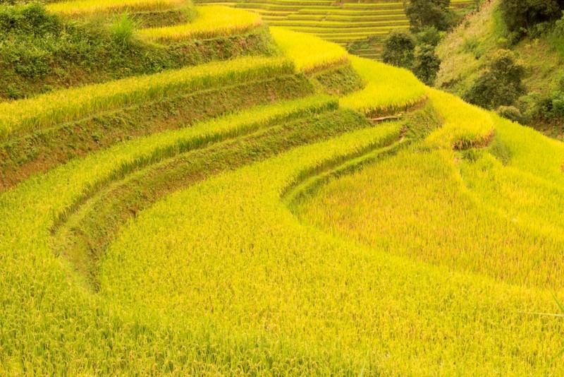 Ruộng bậc thang Mù Căng Chải đồng loạt thay áo trong mùa vàng rực óng - Hình 4