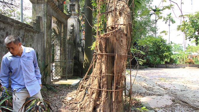 Cận cảnh cây sưa trăm tỉ ở chùa Vĩnh Phúc, Hà Nội - Hình 1