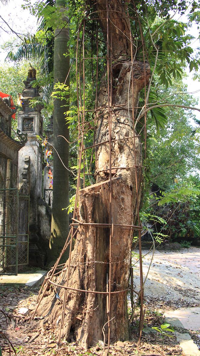 Cận cảnh cây sưa trăm tỉ ở chùa Vĩnh Phúc, Hà Nội - Hình 2