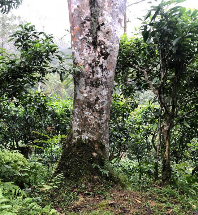 Loại trà đặc biệt Trung Quốc bán gần 40 tỷ đồng/kg, Việt Nam còn cả rừng - Hình 9