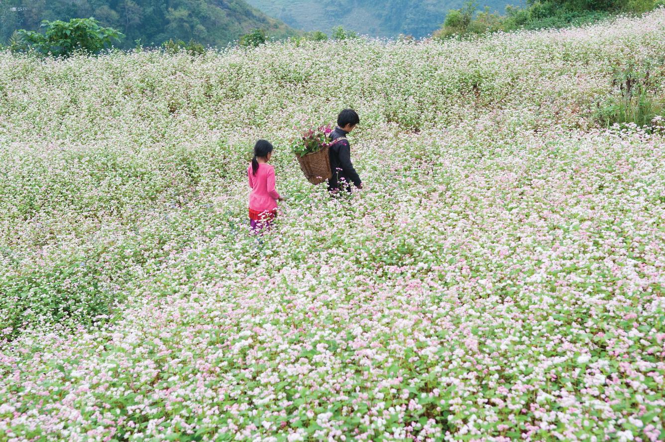 Ngắm chùm ảnh hoa tam giác mạch đẹp mê mải, níu chân du khách yêu Hà Giang - Du lịch