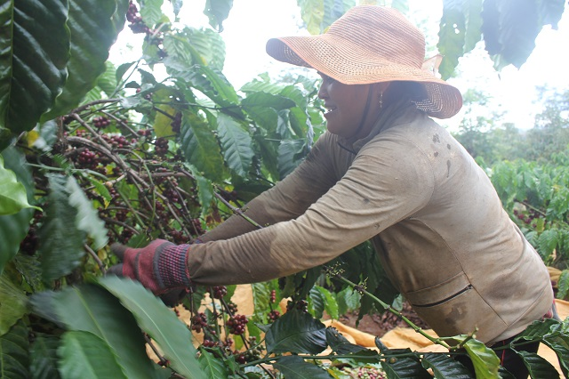 Cà phê chín đen trên vườn, nông dân đỏ mắt tìm người thu hái - Hình 6