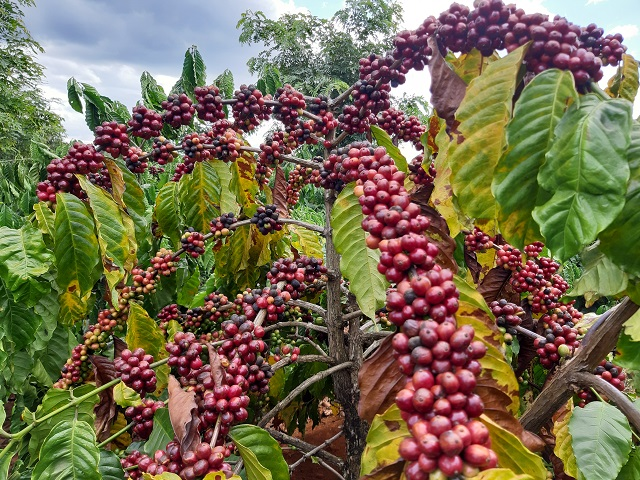 Cà phê chín đen trên vườn, nông dân đỏ mắt tìm người thu hái - Hình 2