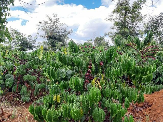 Cà phê chín đen trên vườn, nông dân đỏ mắt tìm người thu hái - Hình 1